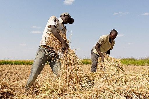 Farmers_in_Igunga,_Tanzania